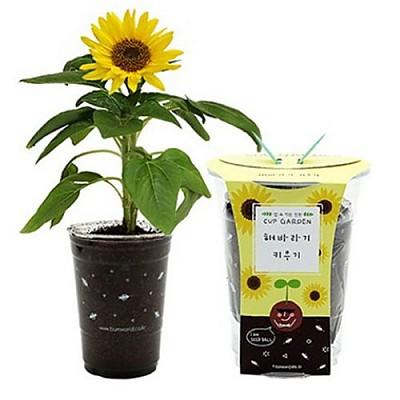 컵가든 해바라기(5세트)